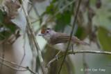Babbler, Rufous-crowned
