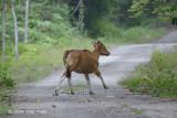 Banteng (young cow) @ Merapoh