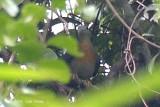 Pigeon, Large Green (male) @ Kuala Koh