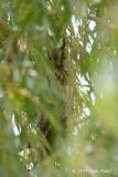 Owl, Long-eared @ Neusiedl, Austria