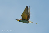 Bee-eater, European @ Hungary