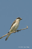 Shrike, Lesser Grey @ Hungary