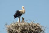 Stork, White @ Hungary