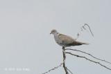 Dove, Collared @ Neusiedl, Austria