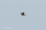 Harrier, Western Marsh @ Neusiedl, Austria