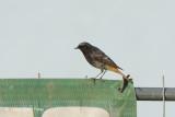 Redstart, Black (female) @ Neusiedl, Austria