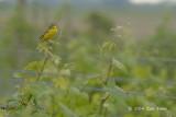 Wagtail, Yellow @ Neusiedl, Austria