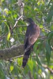 Cuckoo, Large Hawk (adult) @ Bidadari