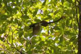 Flycatcher, Japanese Paradise (male) @ Bidadari