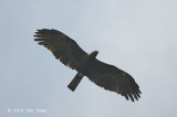 Eagle, Black @ Halimun
