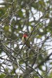 Flowerpecker, Blood-breasted @ Halimun