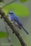 Flycatcher, Pale-blue (male) @ Halimun