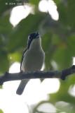 Shrike-Babbler, Pied (male) @ Halimun