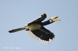 Hornbill, Oriental Pied (male)
