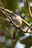 Flycatcher-Shrike, Black-winged (female)