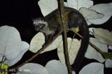 Asian Palm Civet @ Halimun