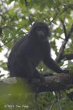 Javan Leaf Monkey @ Halimun