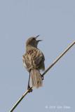 Grassbird, Striated @ Halimun