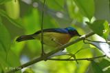 Sunbird, Ruby-cheeked (male) @ Halimun