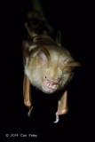 Diadem Roundleaf Bat (Hipposideros diadema) @ Carita