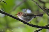 Warbler, Sunda @ Gede