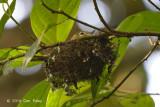 Shrike-babbler, Trilling (female) @ Gede