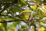 Shrike-Babbler, Trilling