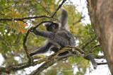 Javan Leaf Monkey @ Gede