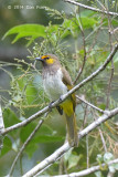 Bulbul, Orange-spotted @ Gede