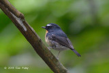 Flycatcher, Snowy-browed (male) @ Gede
