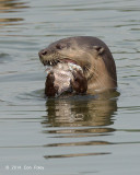 Smooth-Coated Otter @ Halus
