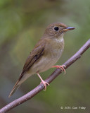 Flycatcher, Brown-chested Jungle (first winter) @ Bidadari
