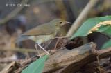 Robin, Siberian Blue (female) @ Bidadari