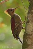 Woodpecker, Crimson-winged (male)