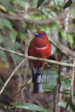 Trogon, Red-headed (male) @ Jalan Air Terjun