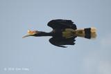 Hornbill, Rhinoceros (male)