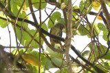 Spiderhunter, Yellow-eared @ Rifle Range Link