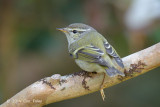 Warbler, Yellow-browed @ Doi Ang Khang