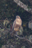 Buzzard, Common @ Doi Ang Khang