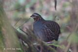 Partridge, Rufous-throated @ Doi Inthanon