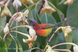 Sunbird, Mrs. Gould's (male) @ Doi Lang