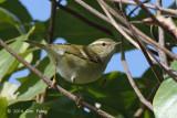 Warbler, Yellow-browed @ Doi Lang
