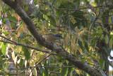 Shrike-Babbler, Blyth's (female) @ Kaeng Krachan