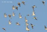 Knot, Great (flock in flight) @ Laem Pak Bia