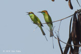 Bee-eater, Green @ Eagle Point
