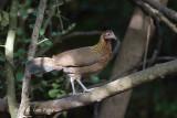 Junglefowl, Red (female) @ Kaeng Krachan