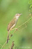 Prinia, Plain @ Eagle Point