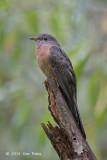 Cuckoo, Rusty-breasted @ Bidadari