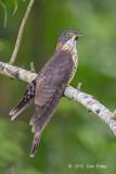 Cuckoo, Large Hawk (sub adult) @ Bidadari