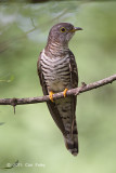 Cuckoo, Indian (female) @ Bidadari